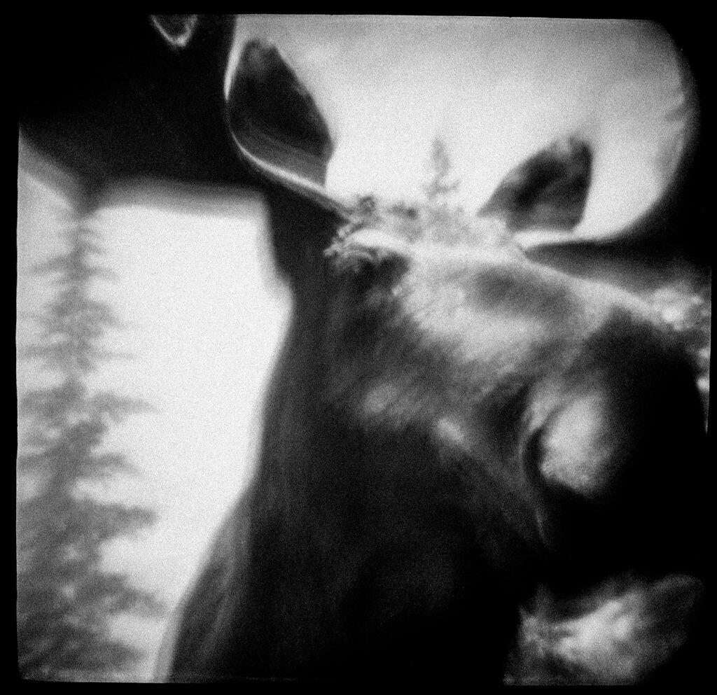 021-moose-111.jpg